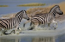Zebras running through water — Stock Photo