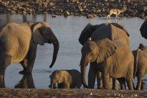 Слоны питьевая вода в водопоя — стоковое фото