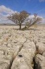 Árbol que crece a través de la piedra caliza de las cicatrices del blanco - foto de stock