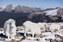 Горные козлы в зимние пальто — стоковое фото