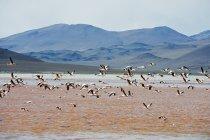 James Flamingo wegfliegen — Stockfoto