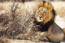 Descansando durante o dia leão — Fotografia de Stock