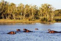 Hippos swiming in water — Stock Photo