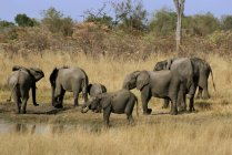 African elephants drinking at waterhole — Stock Photo