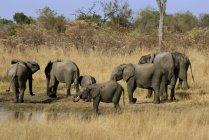 Elefantes africanos bebiendo en el abrevadero - foto de stock