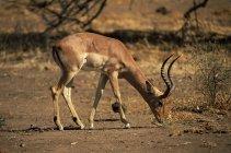 Impala suchen Nahrung auf Feld — Stockfoto