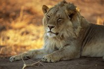 Male lion during daytime — Stock Photo