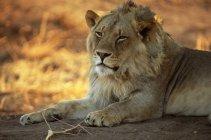 Leão macho durante o dia — Fotografia de Stock