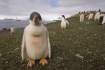 Gentoo пінгвіни на березі моря — стокове фото