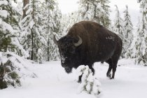 Bison in snow covered forest — Stock Photo