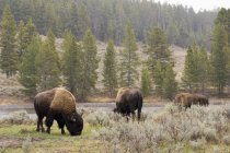 Bisons grazing on river bank — Stock Photo