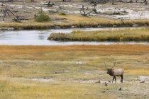 Bull elk near Firehole River — Stock Photo