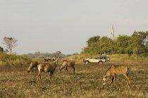 Roan antílopes perto carro safári — Fotografia de Stock