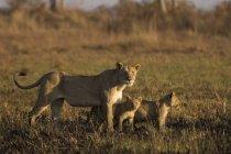 Leoa e filhotes permanente no campo — Fotografia de Stock