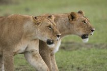 Two lionesses in green field — Stock Photo