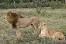 Lion pair in green field — Stock Photo