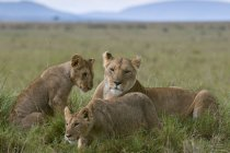 Lioness and cubs in green field — Stock Photo