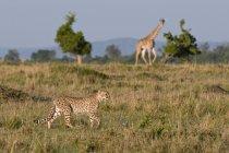 Cheetah and Masai giraffe — Stock Photo