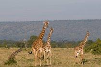 Giraffe Masai nel campo del deserto — Foto stock
