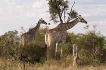 Giraffes eating bush trees — Stock Photo