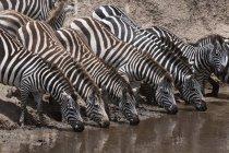 Zebras am Wasser Platz — Stockfoto