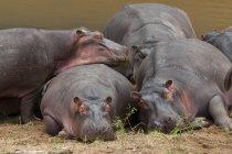 Bloat of hippopotamuses on river bank — Stock Photo