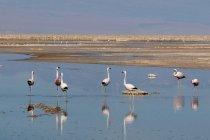 Chilean Flamingos in mirror lake — Stock Photo