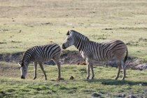 Common zebras, Equus quagga — Stock Photo