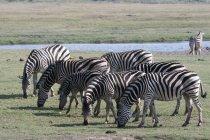 Comune zebre, Equus quagga — Foto stock
