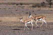 Deux springboks en terrain désertique — Photo de stock