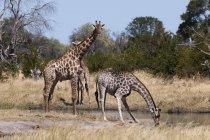 Southern giraffes drinking water — Stock Photo