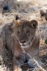 Löwe am Boden liegen — Stockfoto
