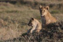 Львы, лежащие на земле в дневное время — стоковое фото