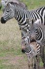 Plains zebras, Equus quagga — Stock Photo