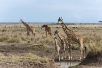 Masai giraffes adult and young breeds — Stock Photo