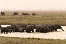 Elefantes africanos en el Parque Nacional de Chobe - foto de stock