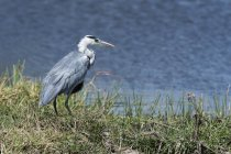 Grey heron standing on grass with water on background — Stock Photo