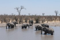 Horda de elefantes africanos en el agua - foto de stock