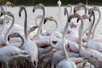 Bando de flamingos maiores — Fotografia de Stock