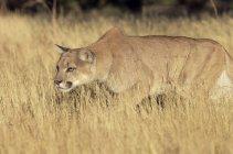 Leão da montanha perseguição no campo — Fotografia de Stock