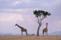 Due giraffe con albero di acacia — Foto stock