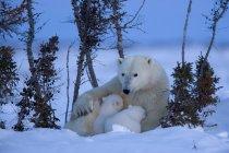 Полярний ведмідь з ведмежатами — стокове фото