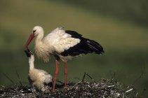 Cigogne blanche avec bébé — Photo de stock