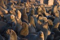 Южноафриканской морские котики — стоковое фото
