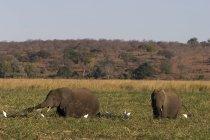 Elefanten auf Feld Gras sitzen — Stockfoto