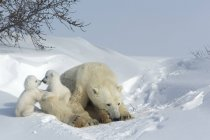 Polar bears, mother with twin cubs — Stock Photo