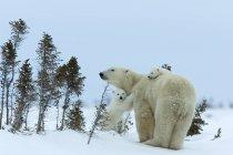 Полярный медведь с медвежатами, укладка в снегу — стоковое фото