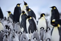 Emperor penguins and chicks — Stock Photo