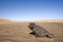 Namaqua caméléon sur terrain sablonneux — Photo de stock