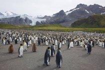 Король колония пингвинов — стоковое фото